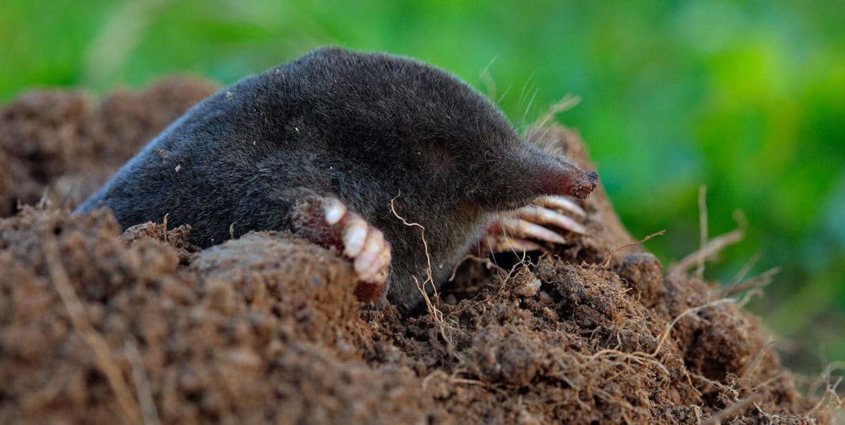 Image of a mole from Shutterstock