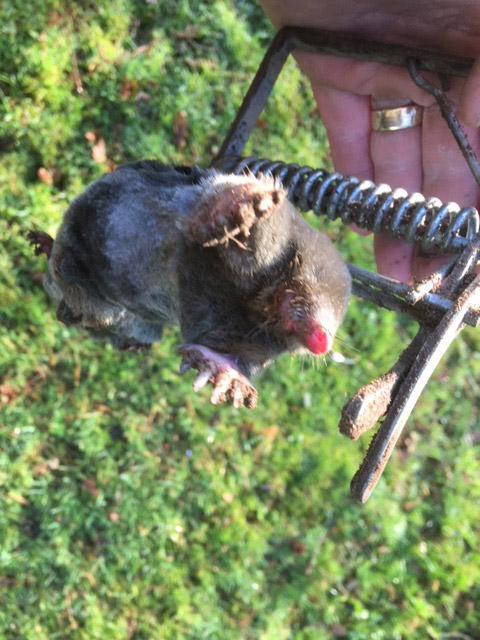 Mole caught in tallpex trap