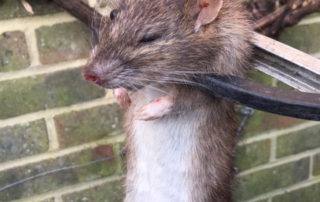 Dead Rat found outside after roof space treatment. Paramount importance to remove dead rodents as part of campaign of responsible use of rodenticides and protect birds of prey.
